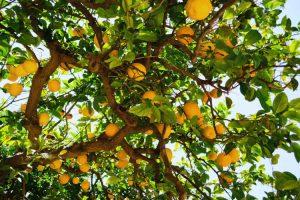 árbol limonero jardin casa