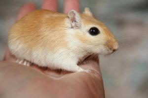hamster mascota de tu hijo